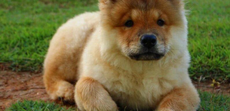 Chow Chow Süs Köpekleri Hakkında Bilgiler
